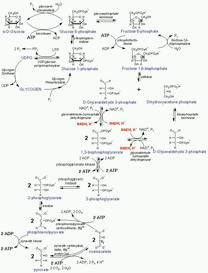 Cellular Respiration Concept Map on